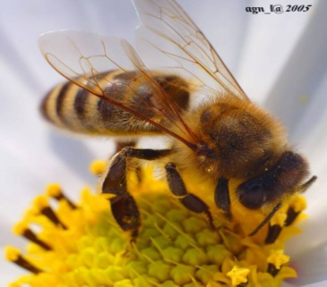 http://macroid.ru/_data/medium/12/bee_.jpg