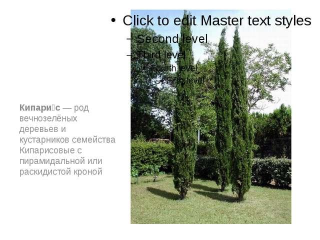 Кипари́с — род вечнозелёных деревьев и кустарников семейства Кипарисовые с п...