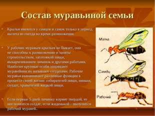 Состав муравьиной семьи Крылья имеются у самцов и самок только в период вылет