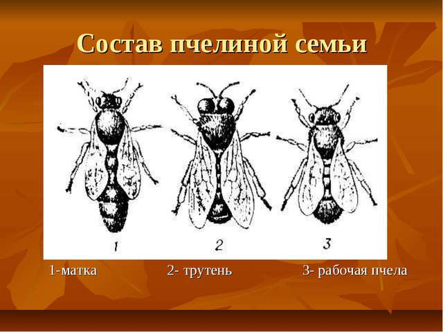 Состав пчелиной семьи 1-матка 2- трутень 3- рабочая пчела