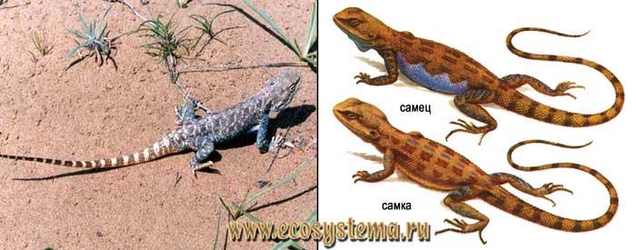 Степная агама - Trapelus sanguinolentus