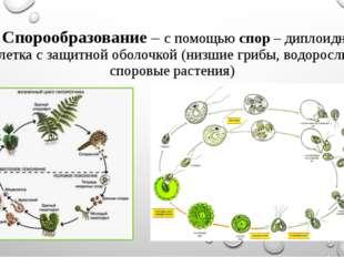 3. Спорообразование – с помощью спор – диплоидная клетка с защитной оболочкой