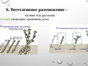 6. Вегетативное размножение – частями тела (растения) - черенками (смородина