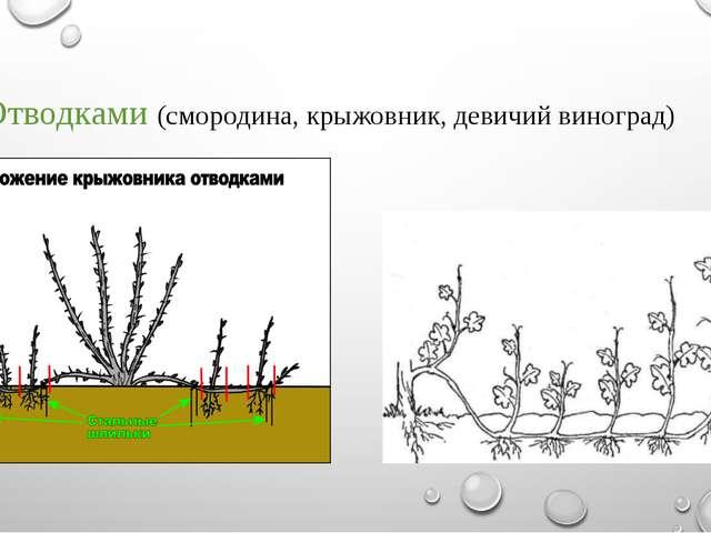 - Отводками (смородина, крыжовник, девичий виноград)