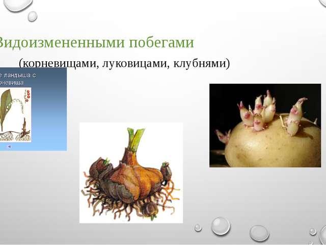 - Видоизмененными побегами (корневищами, луковицами, клубнями)