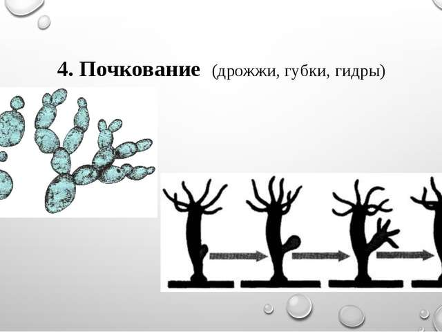 4. Почкование (дрожжи, губки, гидры)