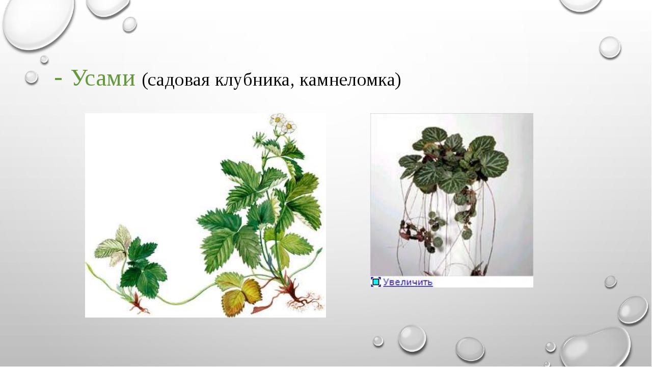 - Усами (садовая клубника, камнеломка)