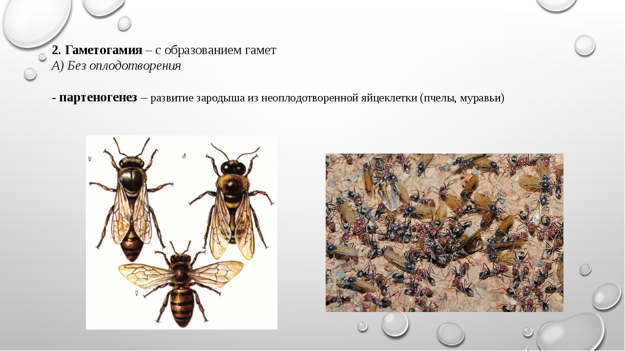 2. Гаметогамия – с образованием гамет А) Без оплодотворения - партеногенез –...