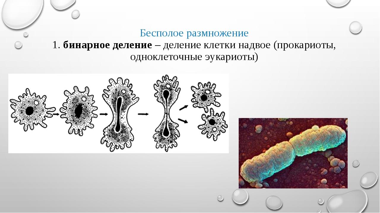 Бесполое размножение 1. бинарное деление – деление клетки надвое (прокариоты,...