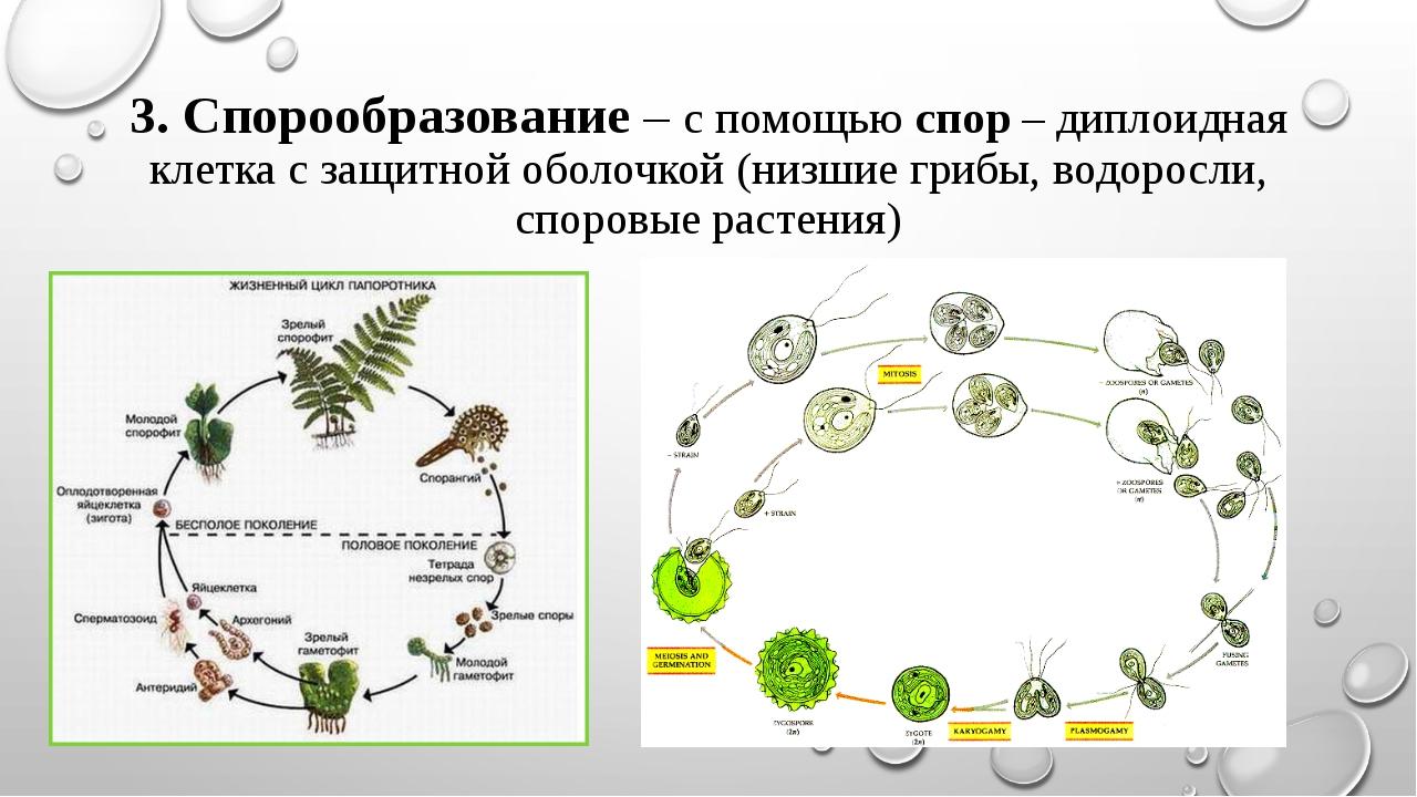 3. Спорообразование – с помощью спор – диплоидная клетка с защитной оболочкой...