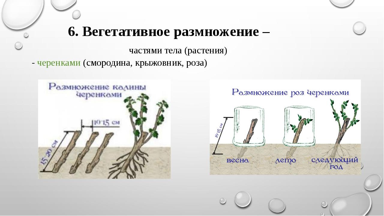 6. Вегетативное размножение – частями тела (растения) - черенками (смородина...