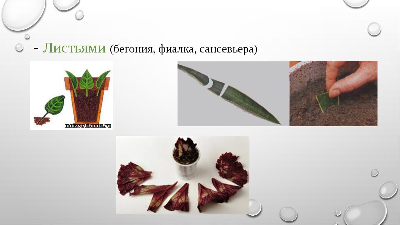 - Листьями (бегония, фиалка, сансевьера)