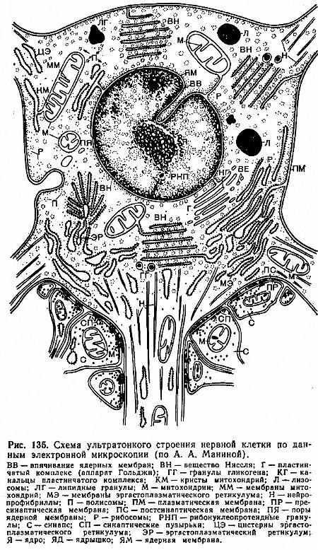 Схема ультратонкого строения нейрона