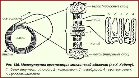 Молекулярная организация миелиновой оболочки