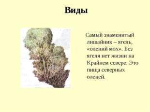 Виды Самый знаменитый лишайник – ягель, «олений мох». Без ягеля нет жизни на
