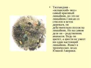 Тилландзия - «испанский» мох» самый красивый лишайник, но это не лишайник.Сви