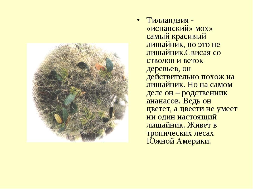 Тилландзия - «испанский» мох» самый красивый лишайник, но это не лишайник.Сви...