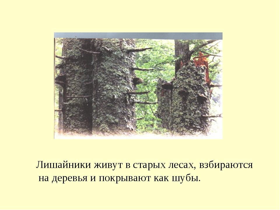 Лишайники живут в старых лесах, взбираются на деревья и покрывают как шубы.