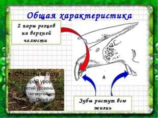 Общая характеристика 2 пары резцов на верхней челюсти Зубы растут всю жизнь