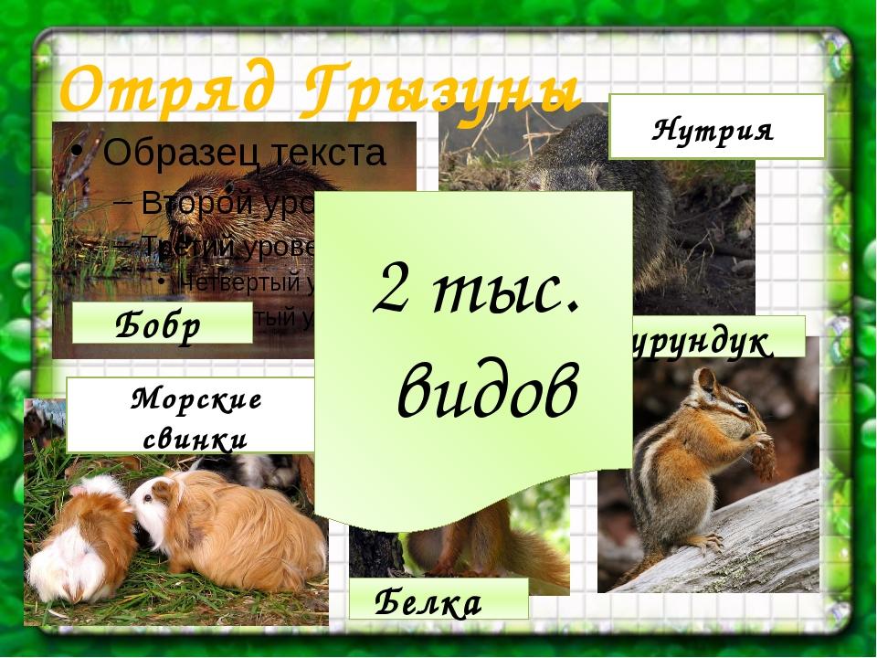Отряд Грызуны Бобр 2 тыс. видов Нутрия Бурундук Белка Морские свинки