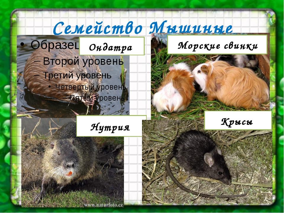 Семейство Мышиные Ондатра Морские свинки Нутрия Крысы