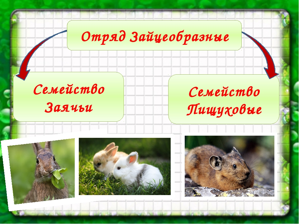 Семейство Пищуховые Семейство Заячьи Отряд Зайцеобразные