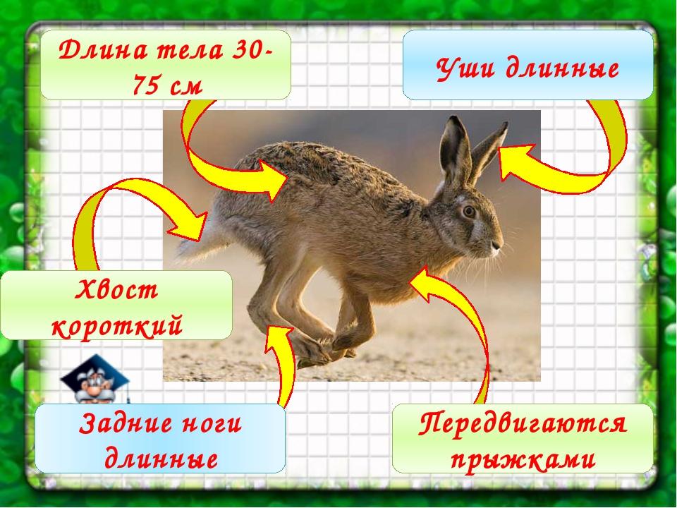 Длина тела 30-75 см Уши длинные Хвост короткий Задние ноги длинные Передвига...