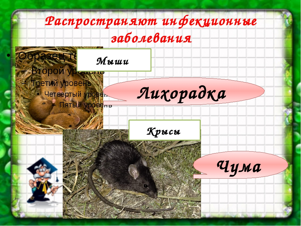 Распространяют инфекционные заболевания Мыши Чума Лихорадка Крысы