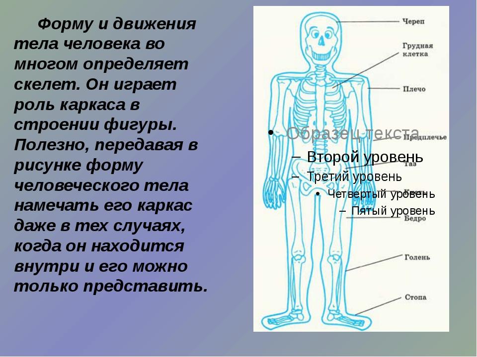 Форму и движения тела человека во многом определяет скелет. Он играет роль к...