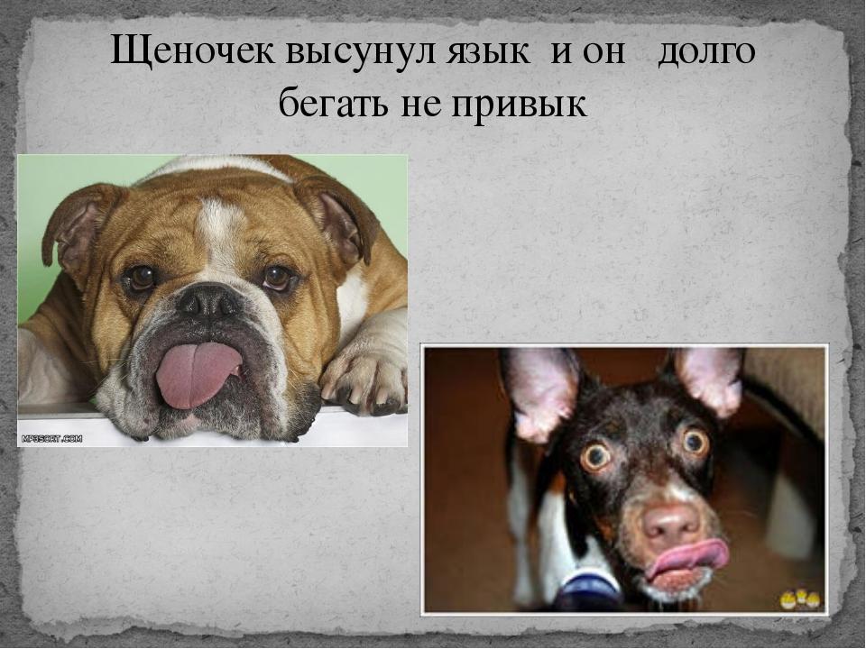 Щеночек высунул язык и он долго бегать не привык