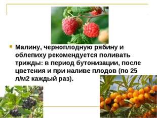Малину, черноплодную рябину и облепиху рекомендуется поливать трижды: в перио