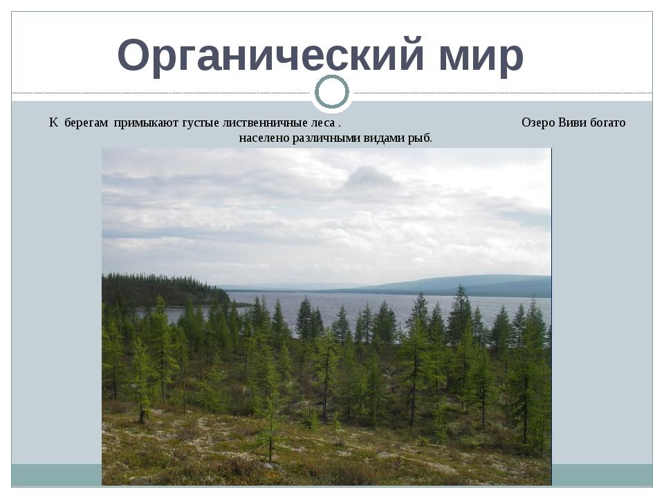 Органический мир К берегам примыкают густые лиственничные леса . Озеро Виви б...