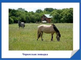 Черкесская лошадка