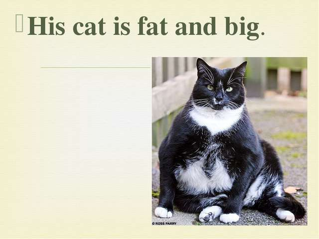 His cat is fat and big. 