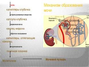 Механизм образования мочи кровь капилляры клубочка отфильтрованные вещес