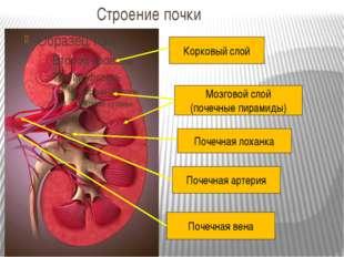 Строение почки Корковый слой Мозговой слой (почечные пирамиды) Почечная лохан