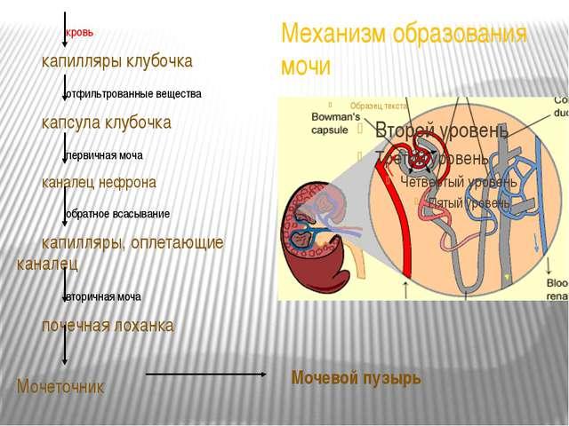 Механизм образования мочи кровь капилляры клубочка отфильтрованные вещес...