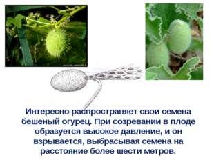 Интересно распространяет свои семена бешеный огурец. При созревании в плоде о