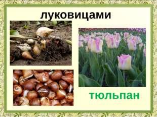 луковицами тюльпан