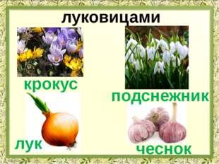 луковицами крокус лук чеснок подснежник