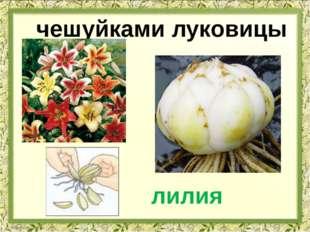 чешуйками луковицы лилия