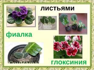 листьями глоксиния фиалка