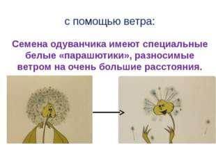 с помощью ветра: Семена одуванчика имеют специальные белые «парашютики», разн
