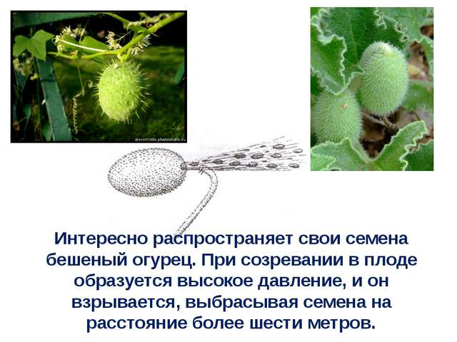 Интересно распространяет свои семена бешеный огурец. При созревании в плоде о...