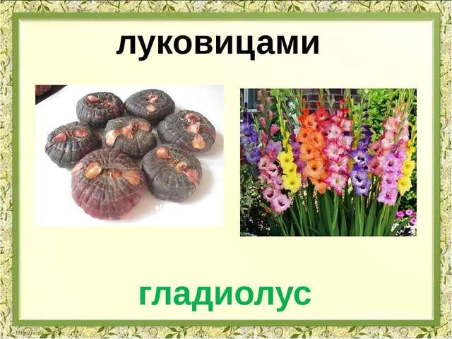 луковицами гладиолус