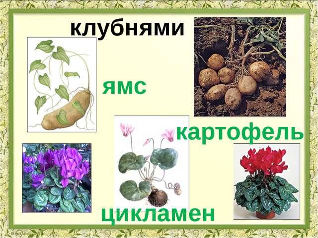 клубнями ямс картофель цикламен