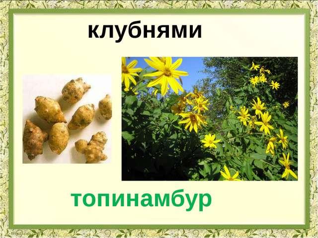 клубнями топинамбур