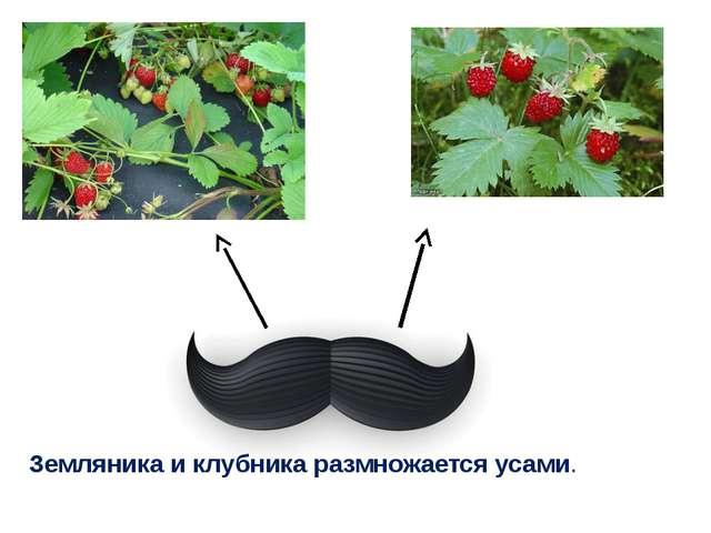 Земляника и клубника размножается усами.