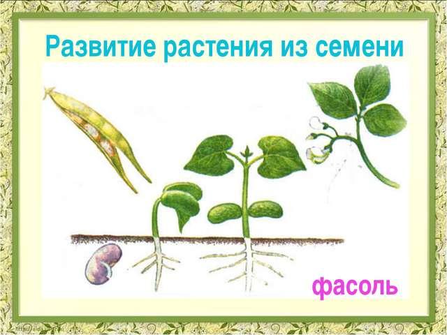 Развитие растения из семени фасоль