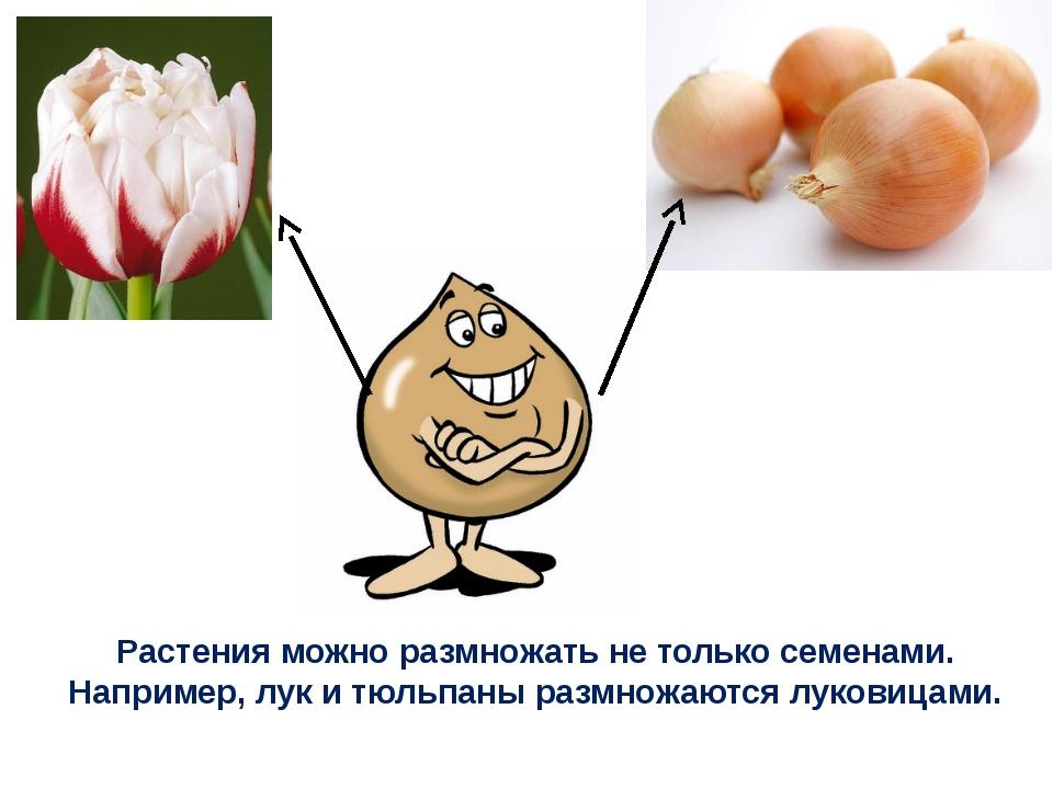 Растения можно размножать не только семенами. Например, лук и тюльпаны размно...